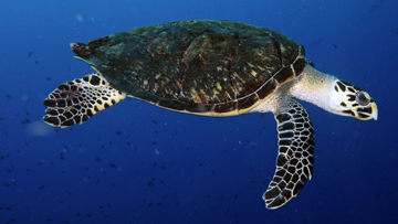 A hawksbill sea turtle swimming in open water