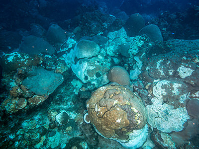 Dead corals interspersed with live ones in the coral mortality event location at East Flower Garden Bank.