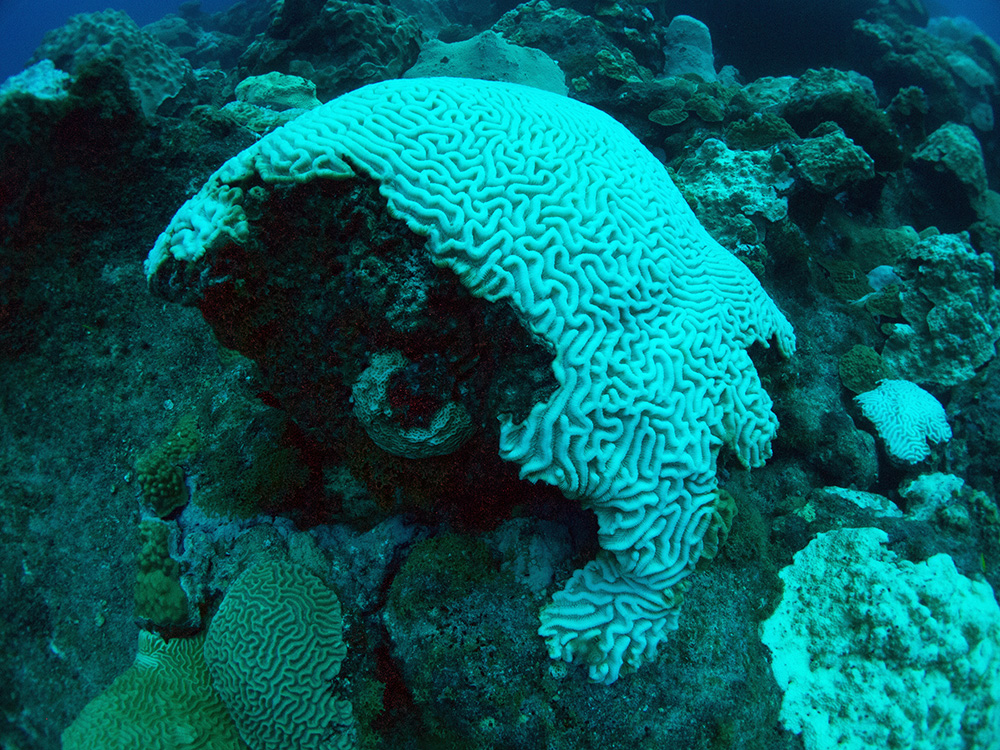 A close view of a brain coral colony that has turned completely white.