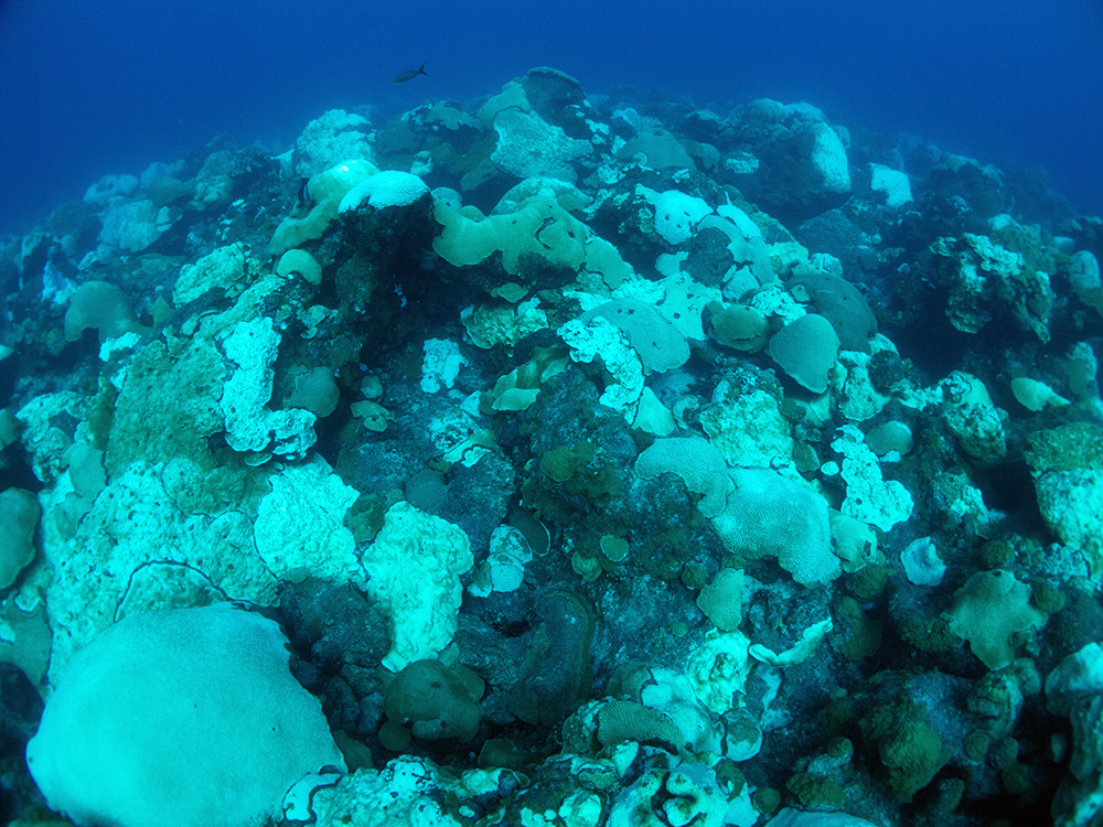 A broad view of the reef with about half of the coral colonies white from bleaching or paling.