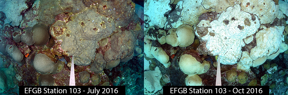 Side by side images of the same section of coral reef. The left image shows corals in their normal brownish green colors in July 2016. The right image shows most of the corals are white or turning white in October 2016.