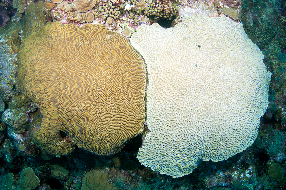 A bleached brain coral colony next to an unbleached one