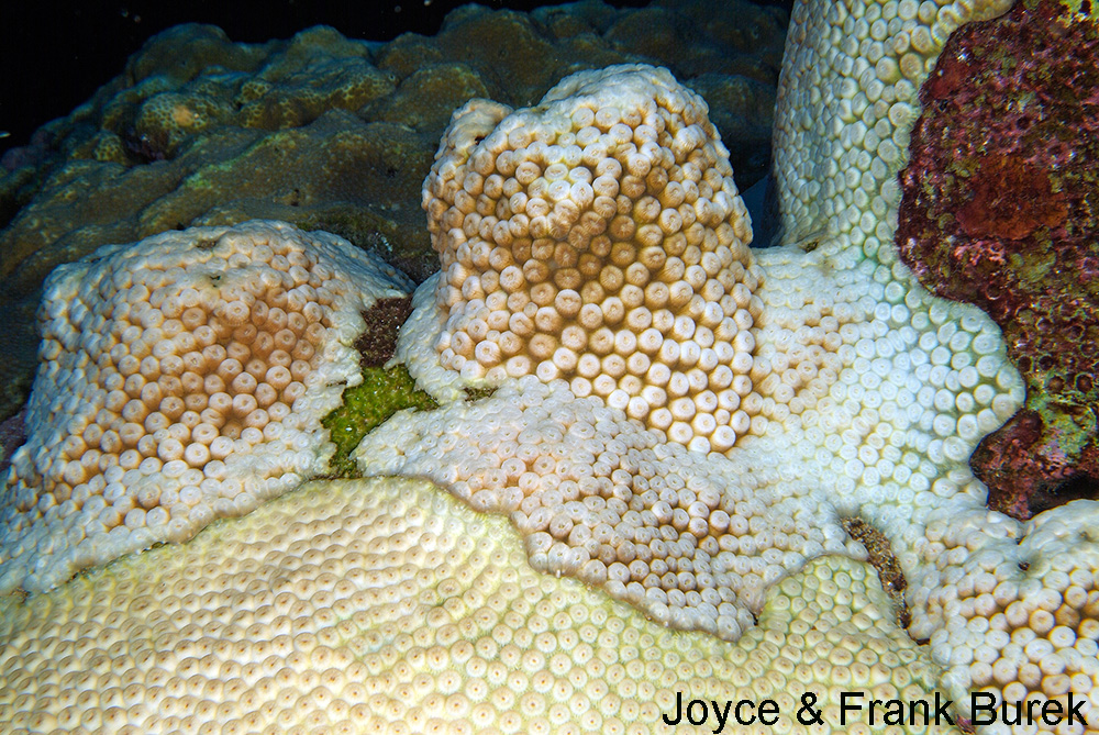 Three colonies of Great Star Coral showing bleached and unbleached areas.