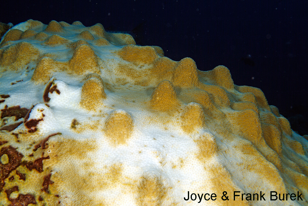 A partially bleached colony of Mountainous star Coral, where the peaks of the lumps still have color
