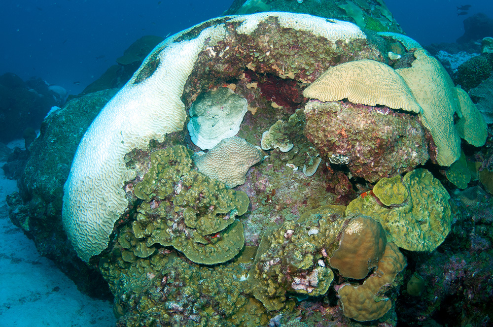 A mound of coral with some colonies bleached and others not