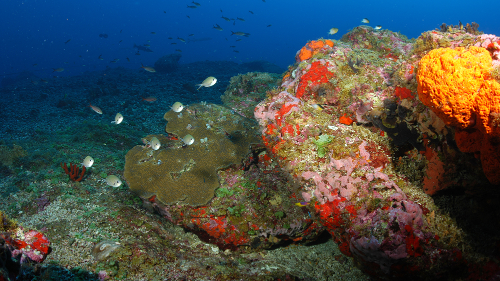 Hard coral covers part of a rocky outcropping, while the rest is covered in algae and sponges