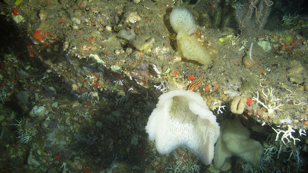 Delicate looking white, vase-shaped sponges attached to hard substrate