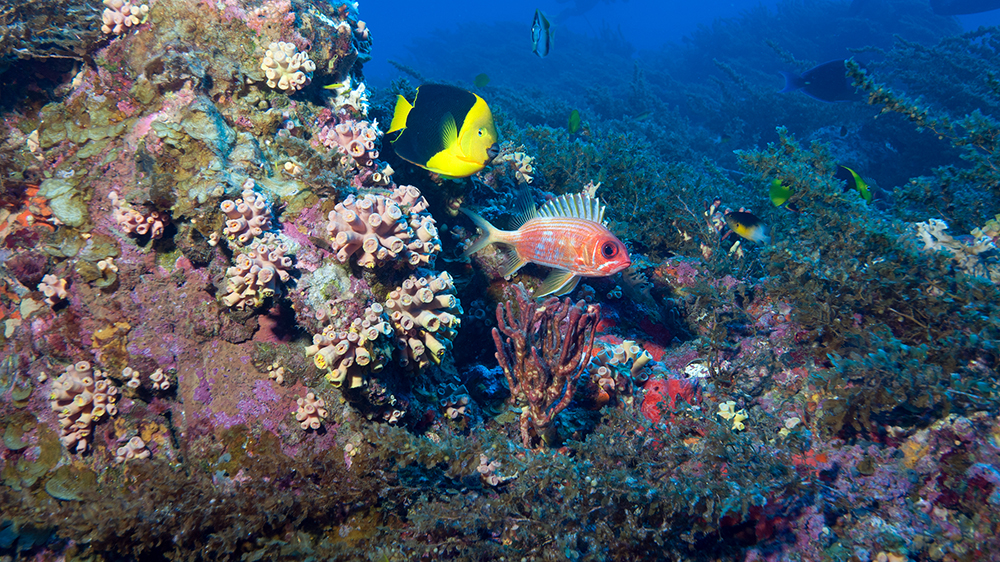 An angelfish and a squirrelfish swim past a rocky outcropping covered in clusters of invasive orange cup coral