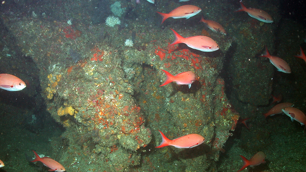 Bright red Creolefish swim past a large rocky formation in a deep reef area