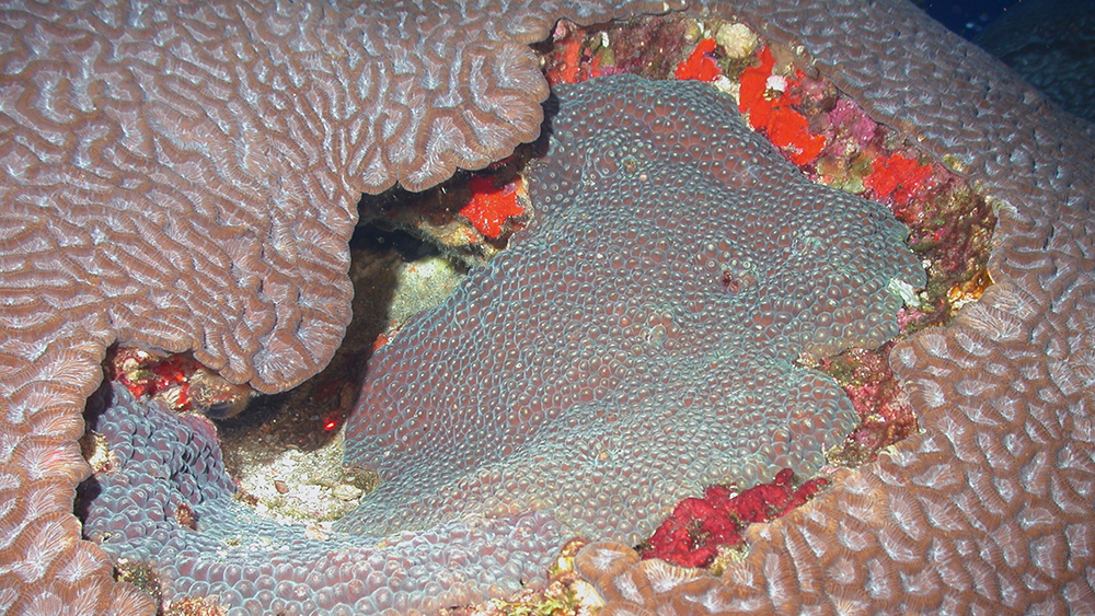 Brain and star corals at McGrail Bank