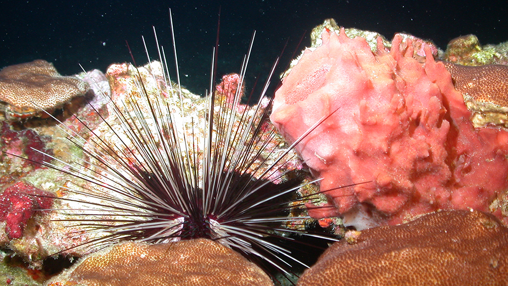 Small colonies of blushing star coral surround a pink sponge and a long-spined urchin