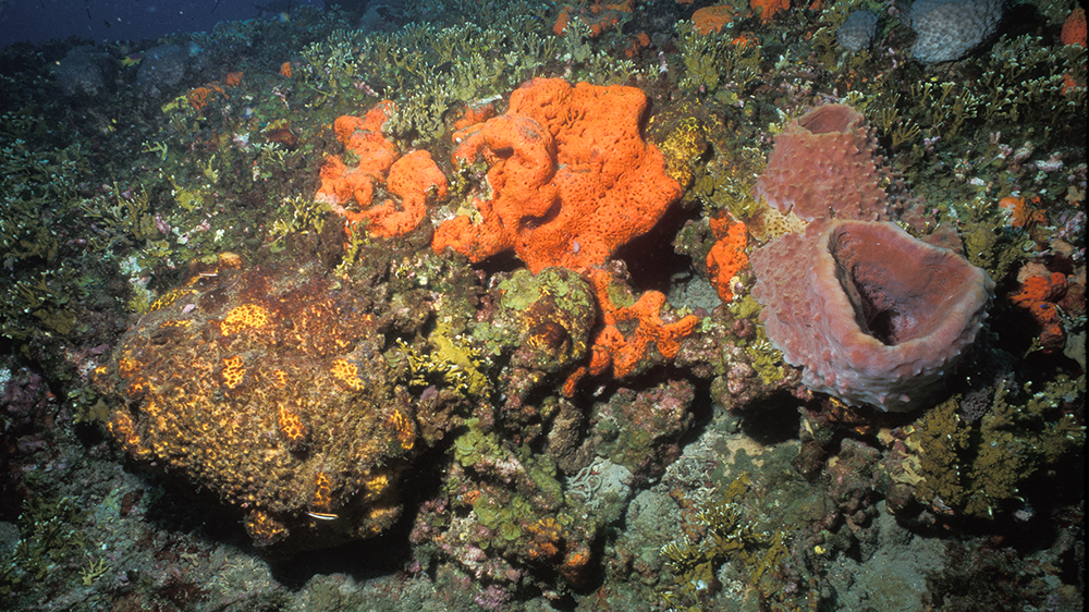 Bright orange, brown and orange, and brown sponges cover a section of rocky reef amid a bunch of fire coral