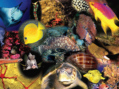 Collage of animals found in the shallow reefs of FGBNMS