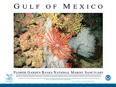 Poster with a large photo of bright red crinoid perched on white corals in the middle and a description of the crinoid and the location it was observed underneath
