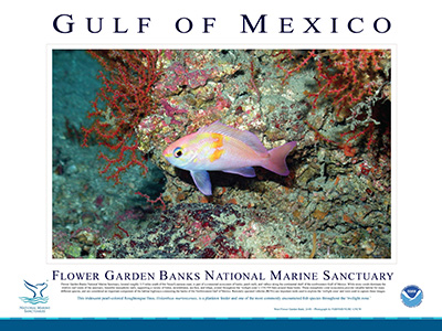 Poster with a large photo of pink and orange roughtongue bass in the middle and a description of the bass and the location it was observed underneath