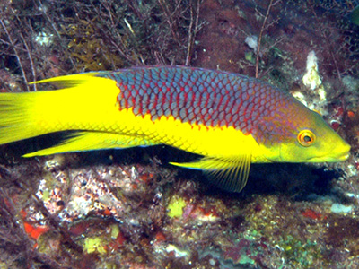 A Spanish Hogfish showing off its purple and yellow coloration