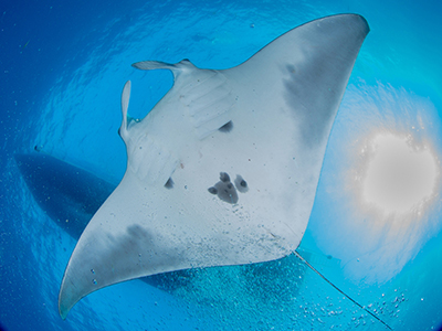 Looking up at the belly of a manta ray swimming beneath the shadow of a boat at the surface
