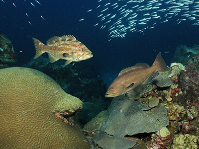 Two groupers facing each other above the reef with a school of smaller fish swimming in the background