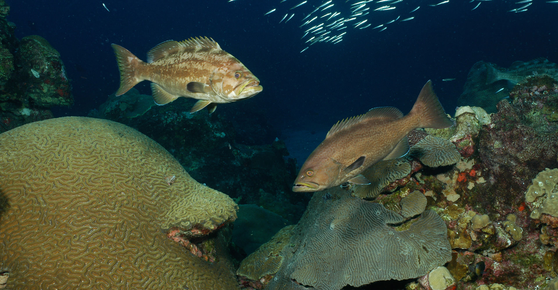 Two yellowmouth groupers facing each other on the reef
