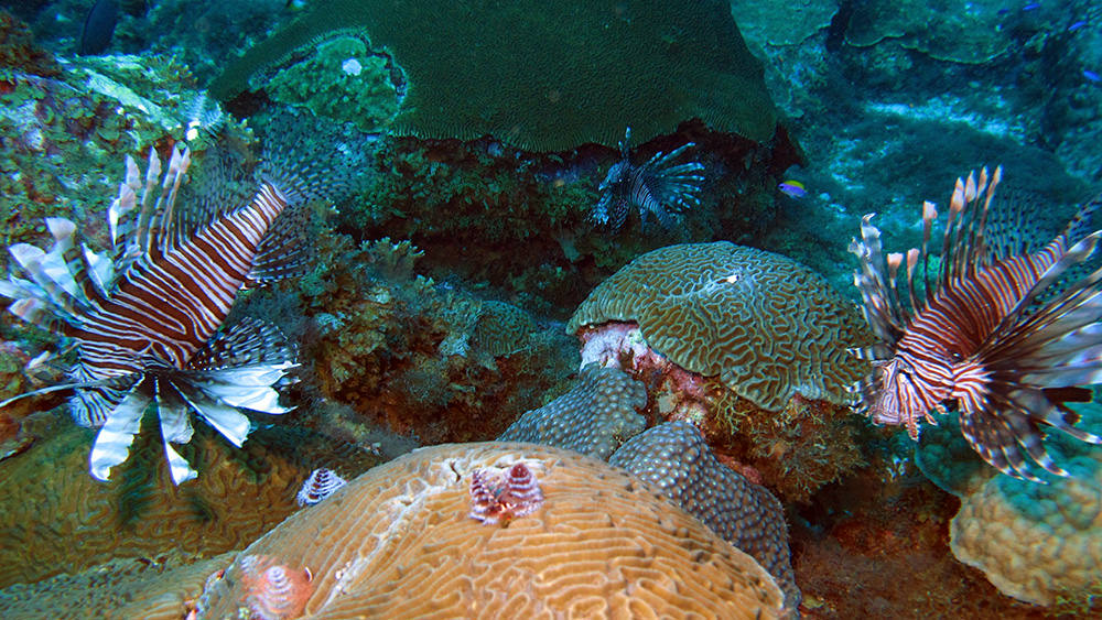 Three lionfish hovering above corals on the reefs at Flower Garden Banks National Marine Sanctuary