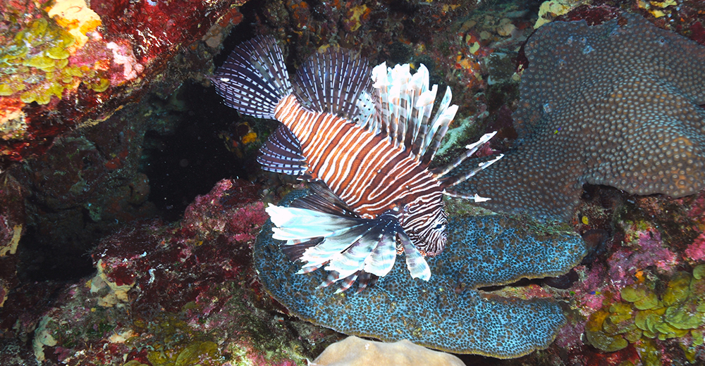 A single lionfish hovering above the reef at Flower Garden Banks National Marine Sanctuary