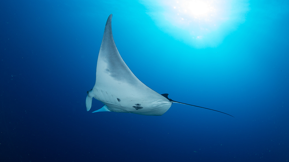 Manta ray with a mostly white belly