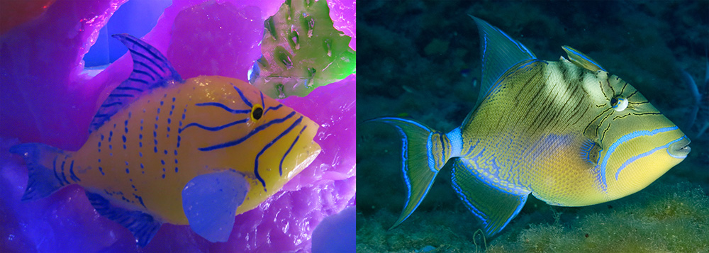 Side by side images of a queen triggerfish. On the left is one sculpted from ice. On the right is a photo of one from the sanctuary.