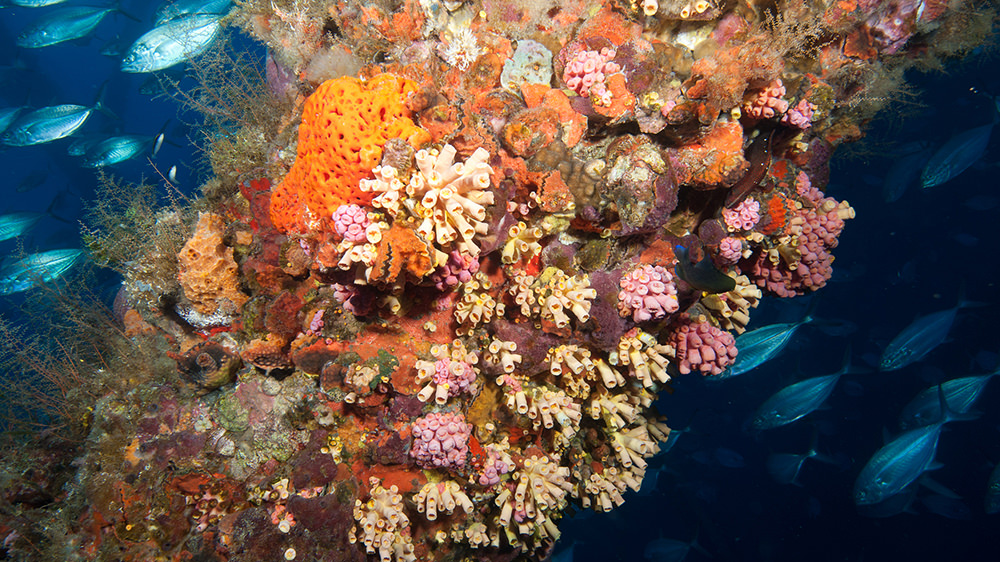 Colonies of Orange Cup Coral cover interspersed with sponges and hydroids on the platform structure.
