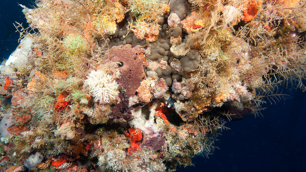 Platform beam covered in marine growth of sponges, hydroids and oysters.