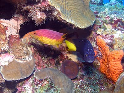 A purple and yellow Spanish hogfish and a dark blue yellowtail damsel swimming under a ledge of brain coral