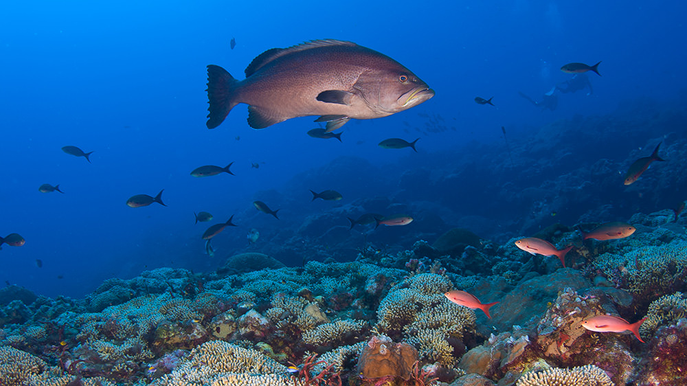 Grouper swimming over a coral reef
