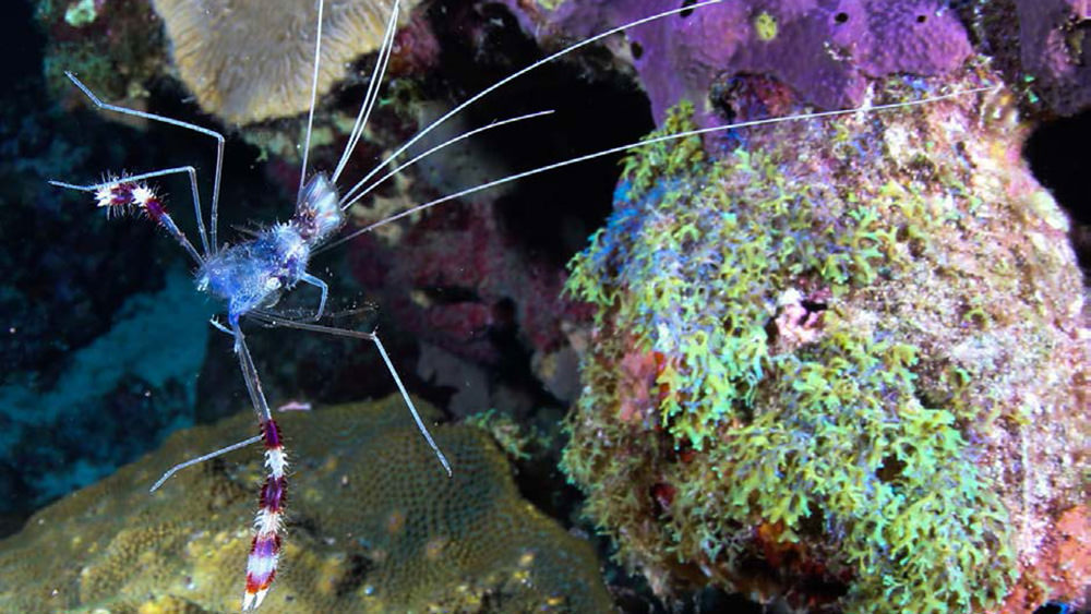 Molt of a banded coral shrimp floating in the water near the reef