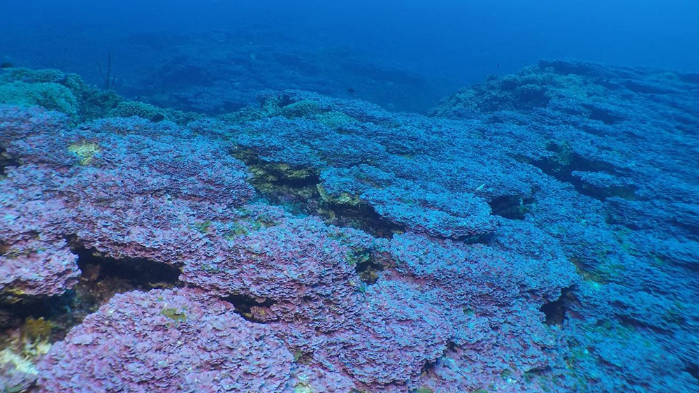 Purple encrusted algae across a large section of reef