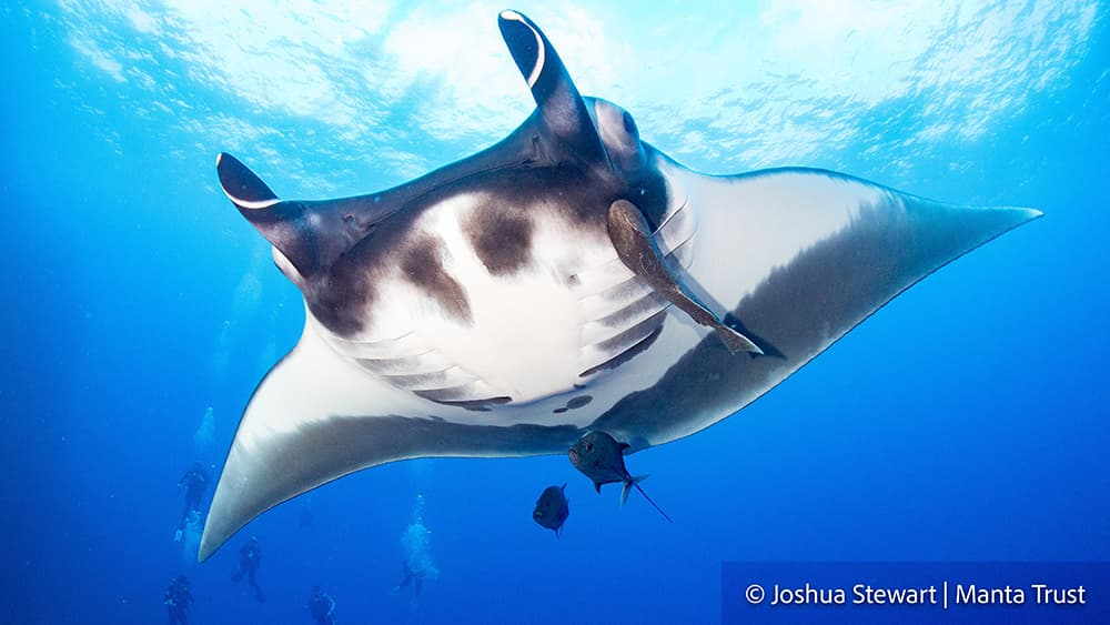 A large manta ray with a couple of jacks swimming under its belly and scuba divers in the distance