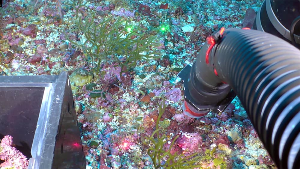 An ROV manipulator arm collecting samples from a rhodolith bed at West Flower Garden Bank