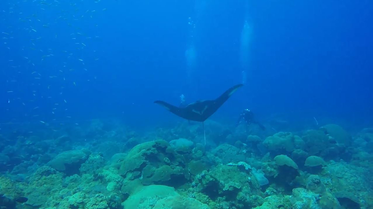 A manta ray swimming above the reef